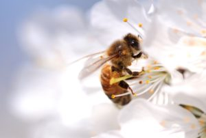 Bee on Flower Shutterstock 190425893