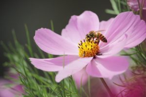 Honey Bee on Purple Blossom