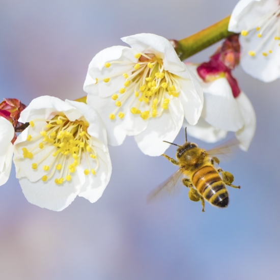 Bee and Flower Stem Shutterstock 299928002 copy